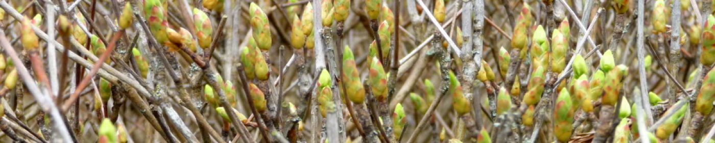 The buds of spring