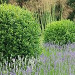 20150705 Littlethorpe Manor box grass and lavendar