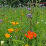 20150705 Littlethorpe Manor the wildflower meadow