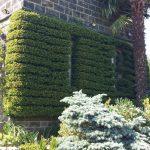 20150705 York Gate Garden Trained Piracanthus