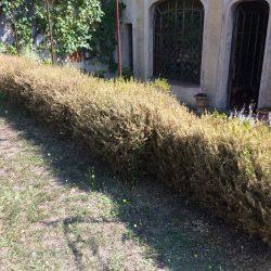 2017-08-18-1286 - terrace hedge before treatment