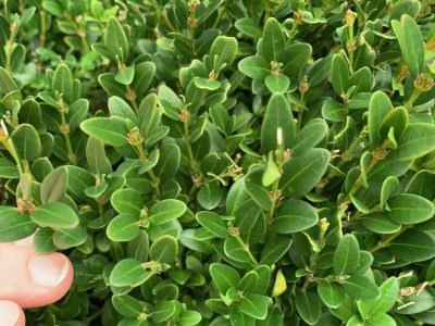 American Boxwood 2D After late summer thinning close up