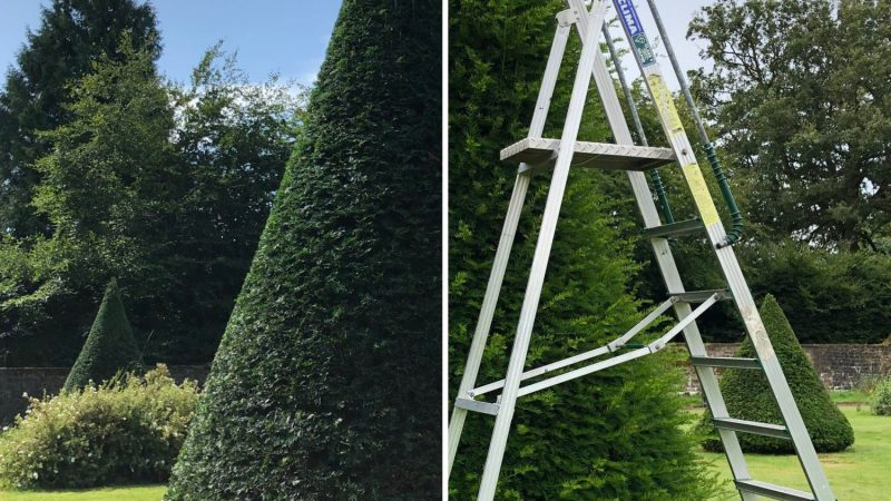 Before & after clipping into cone shape topiary in the Large Walled Garden (second reshape)