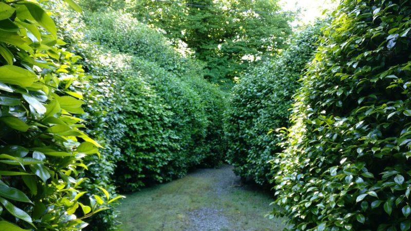 Camellia maze