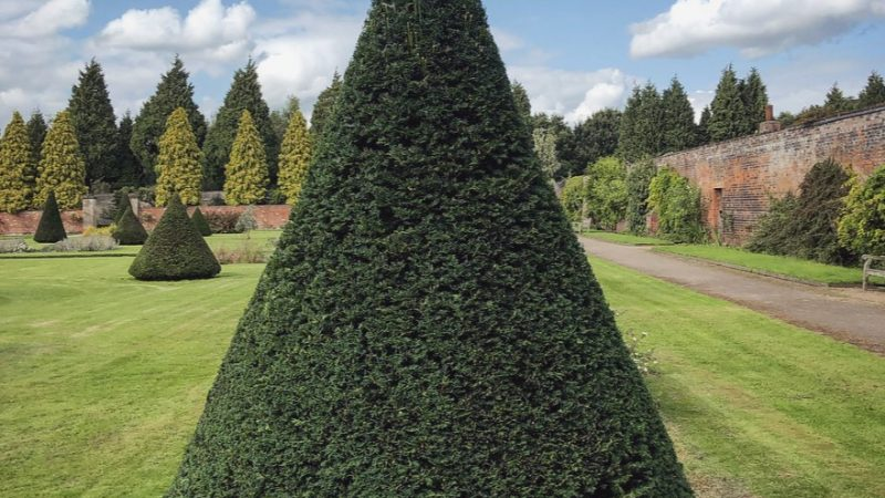 A cone topiary in the Large Walled Garden