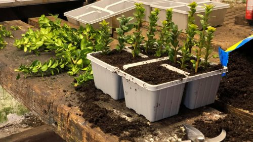 Cuttings on bench - HL