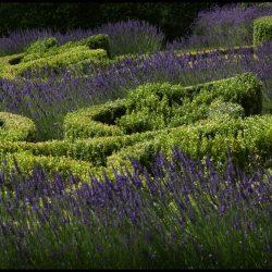 Stanhoe Hall, Norfolk, Box and Lavender Parterre garden