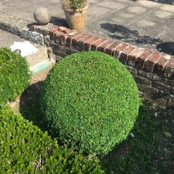 Buxus ball trimming