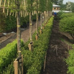 Pleached Hornbeam and Box hedging