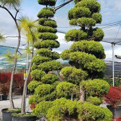 Cloud trees - Paramount Plants & Gardens