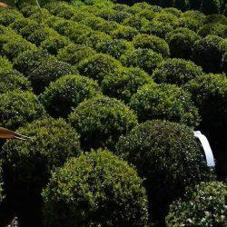 Buxus Globes - Paramount Plants & Gardens