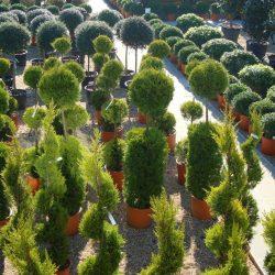 Topiary nursery - Paramount Plants & Gardens