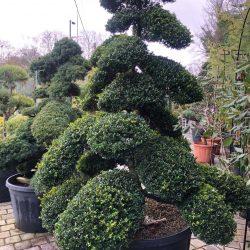 Japanese Cloud Tree, Ilex Crenata - Paramount Plants & Gardens