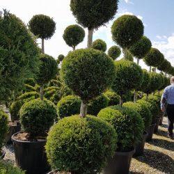 Topiary Pom Pom trees - Paramount Plants & Gardens