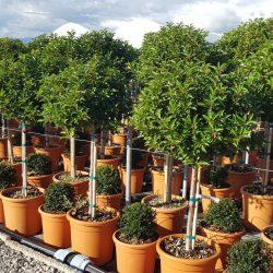 Prunus Lusitanica Topiary trees - Paramount Plants & Gardens