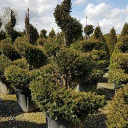 Yew Spirals - Paramount Plants & Gardens