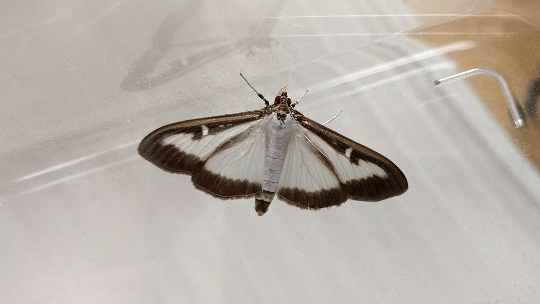 Common box tree moth