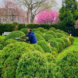 Boxwood Hand Shearing Early Spring