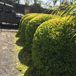 Clipping a clients straight hedge into a more interesting shape.