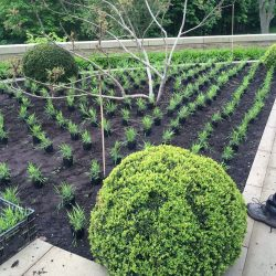 Box spheres and Hakonechloa planting