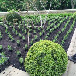 Box spheres and Hakonechloa planting
